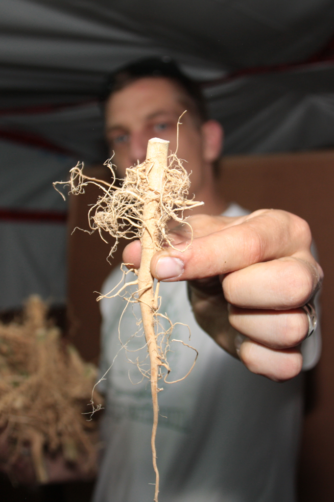 The Secrets Of Hemp Root