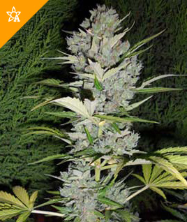 Big Bud Automatic Seeds